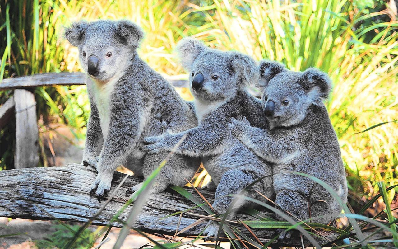 Fluffy Koalas HD Wallpaper 1920x1080
