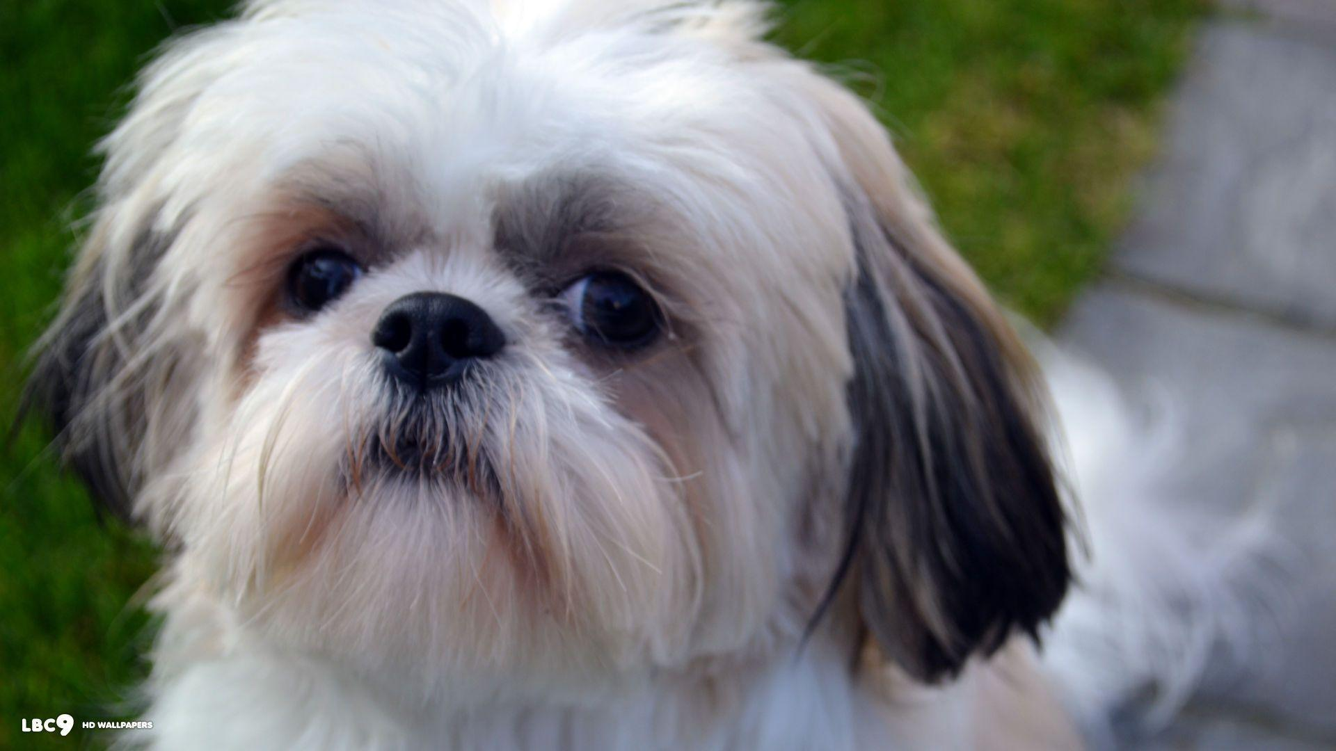 Shih Tzu Wallpapers - Wallpaper Cave
