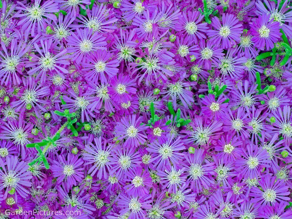 Purple Flowers Background Hd Cool 7 HD Wallpapers