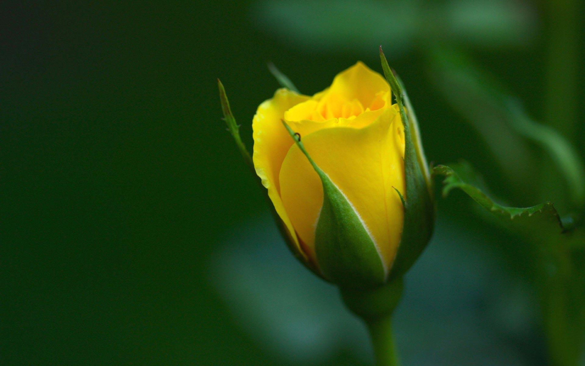 Hd wallpaper yellow rose - Yellow Rose Wallpapers Hd Wallpapers Inn
