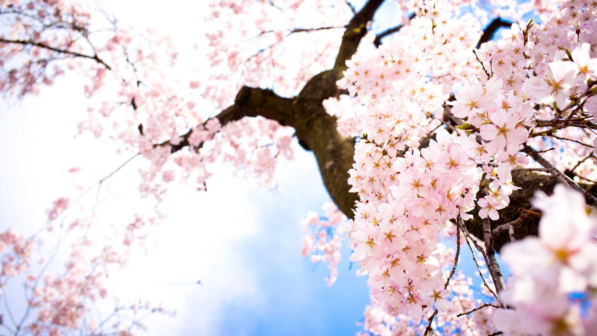 Sakura Flowers Wallpaper | Wallpaper Download