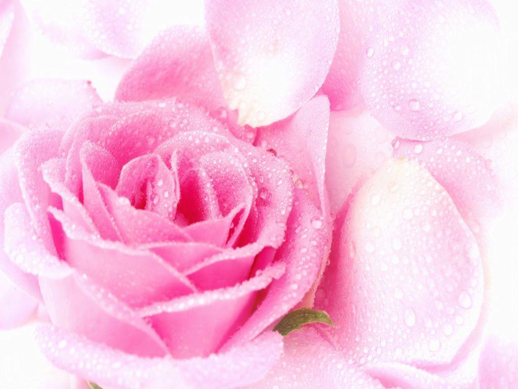 Beautiful pink wallpapers wallpaper cave wallpapers for beautiful pink rose flowers wallpapers izmirmasajfo