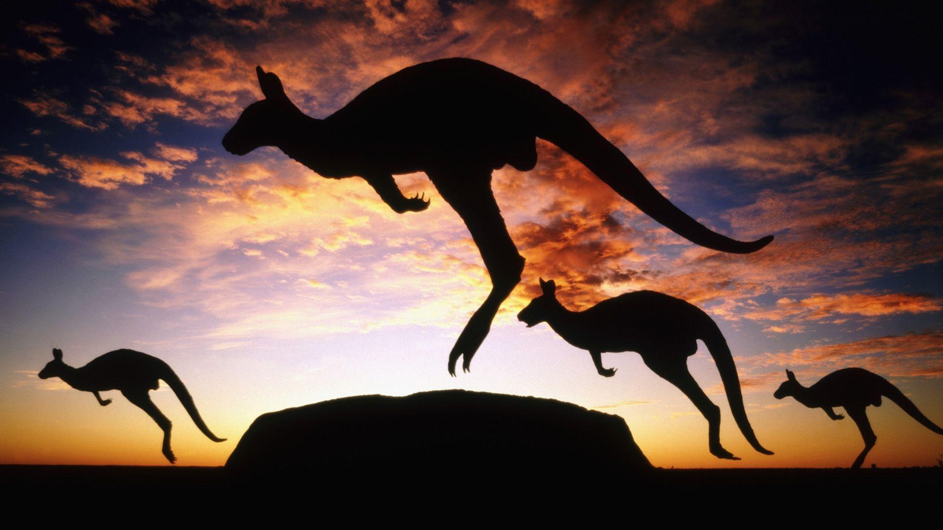 kangaroo HD Wallpaper Free Download | HD Free Wallpapers Download