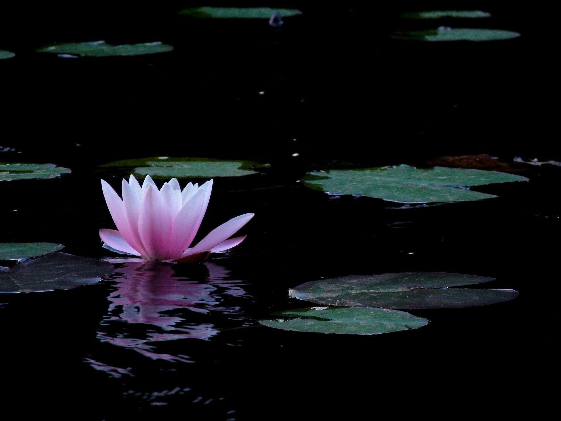 Lotus Flower Wallpapers 48 Wallpapers