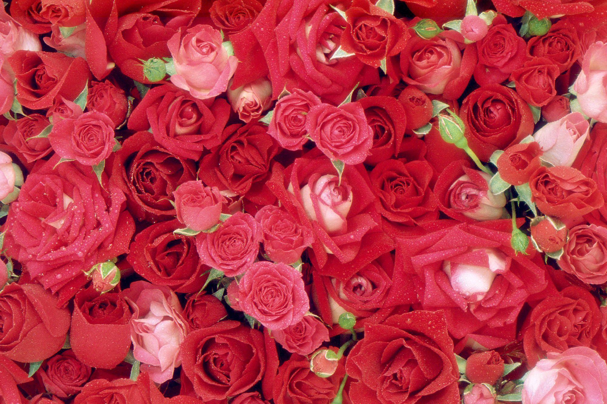 Roses Wallpapers - Wallpaper Cave
