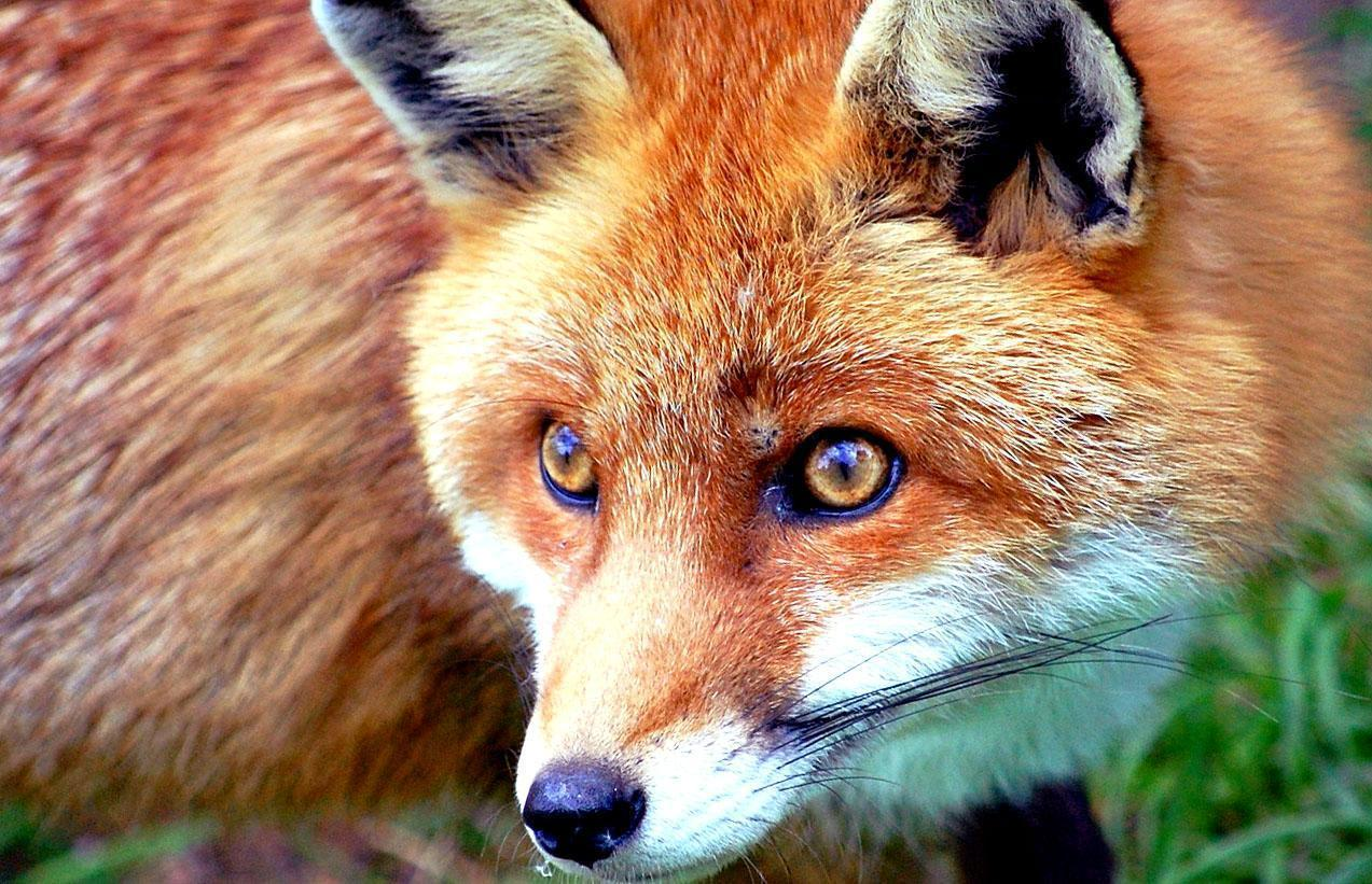 Red fox picture free desktop background - free wallpaper image