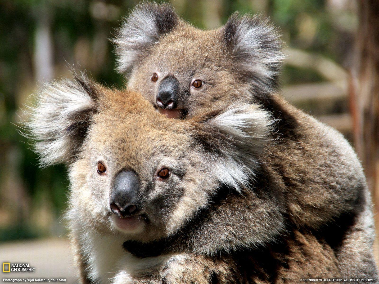 Mother and Baby Koala, Australia