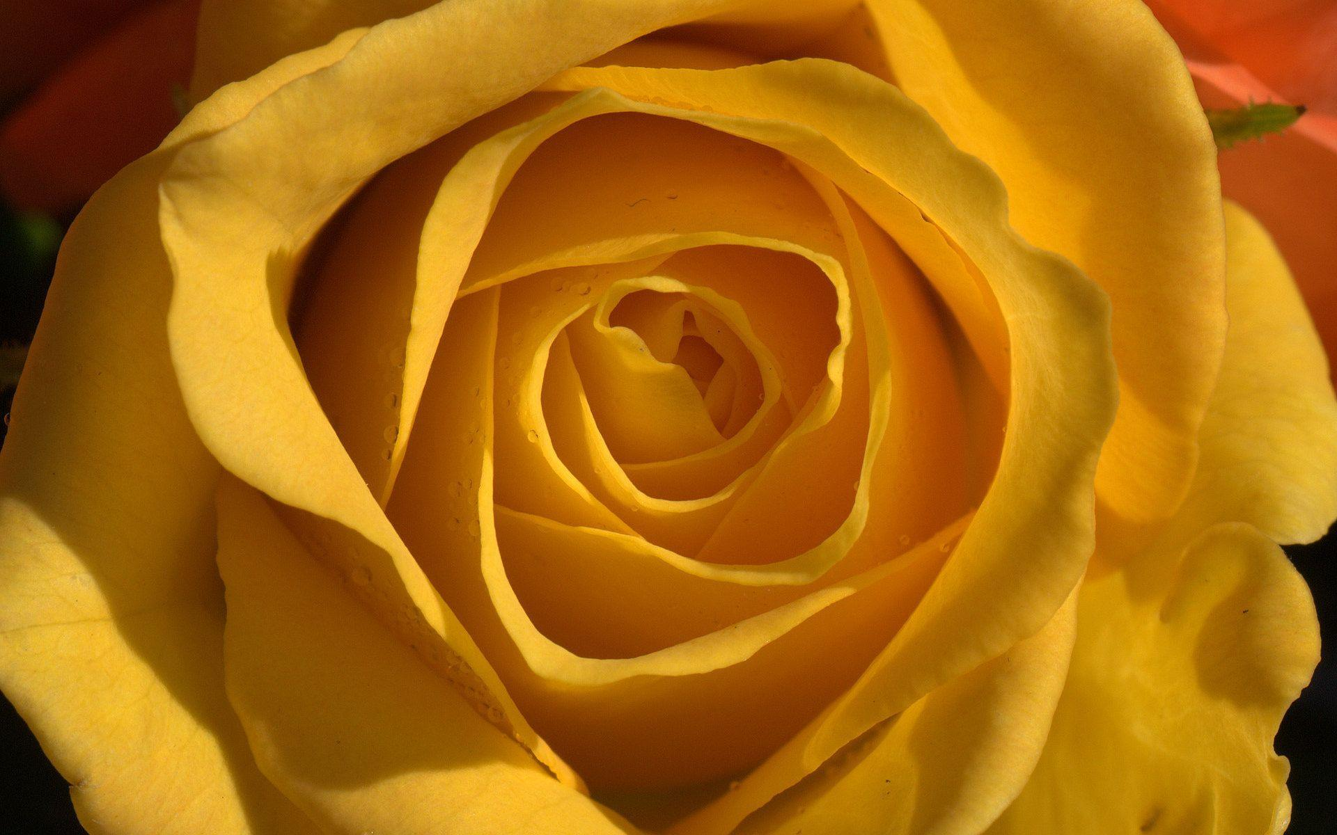 Wallpapers Yellow Rose - Wallpaper Cave