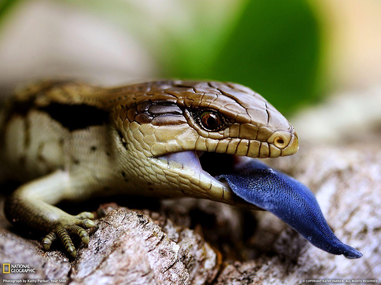 Blue-Tongued Lizard Picture – Animal Wallpaper - National ...