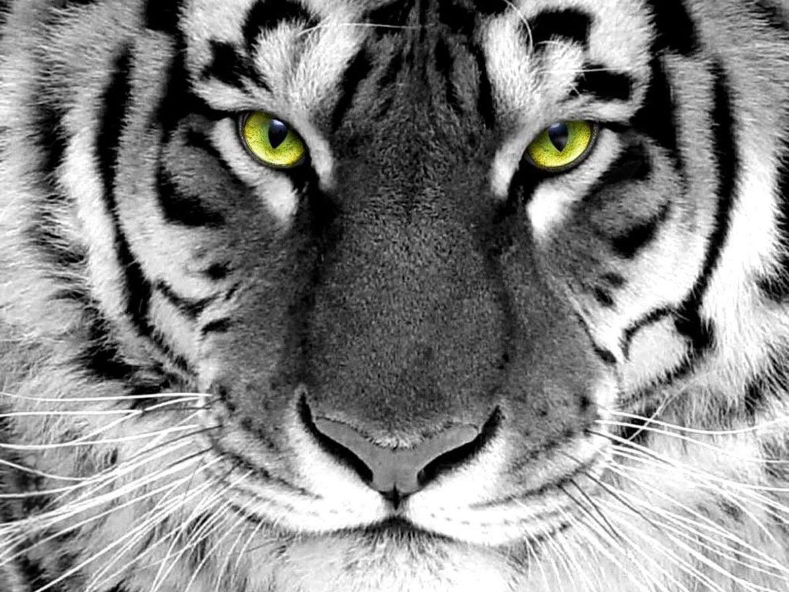 Wallpapers Hd White Tiger Hd Backgrounds 8 HD Wallpapers