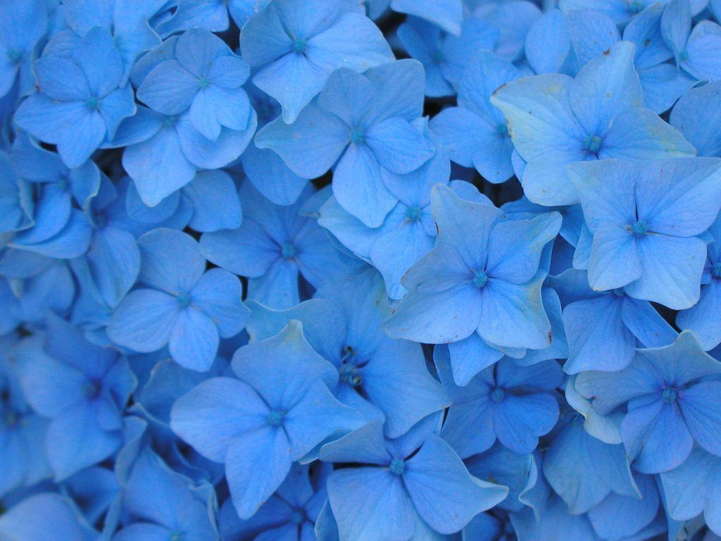 Blue flowers backgrounds wallpaper cave flowers for light blue flower background izmirmasajfo