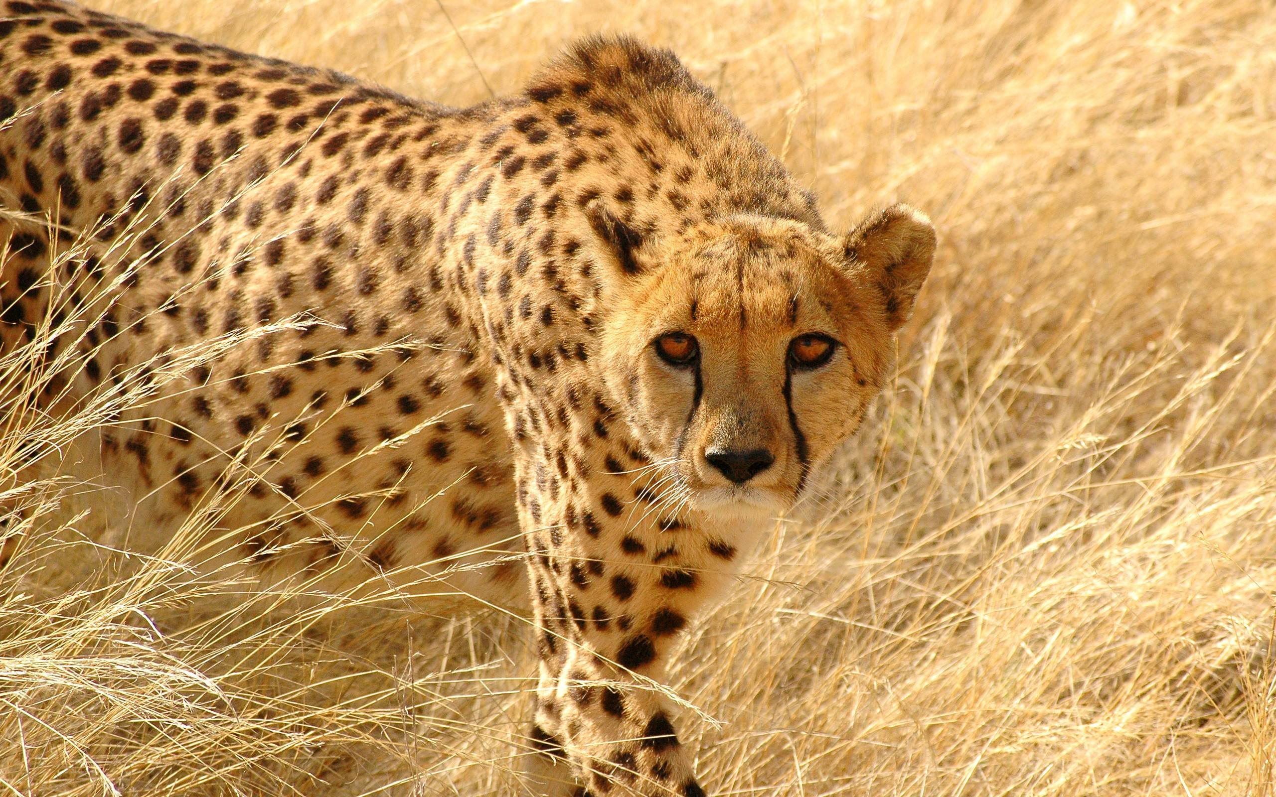 226 Cheetah Wallpapers | Cheetah Backgrounds Page 2