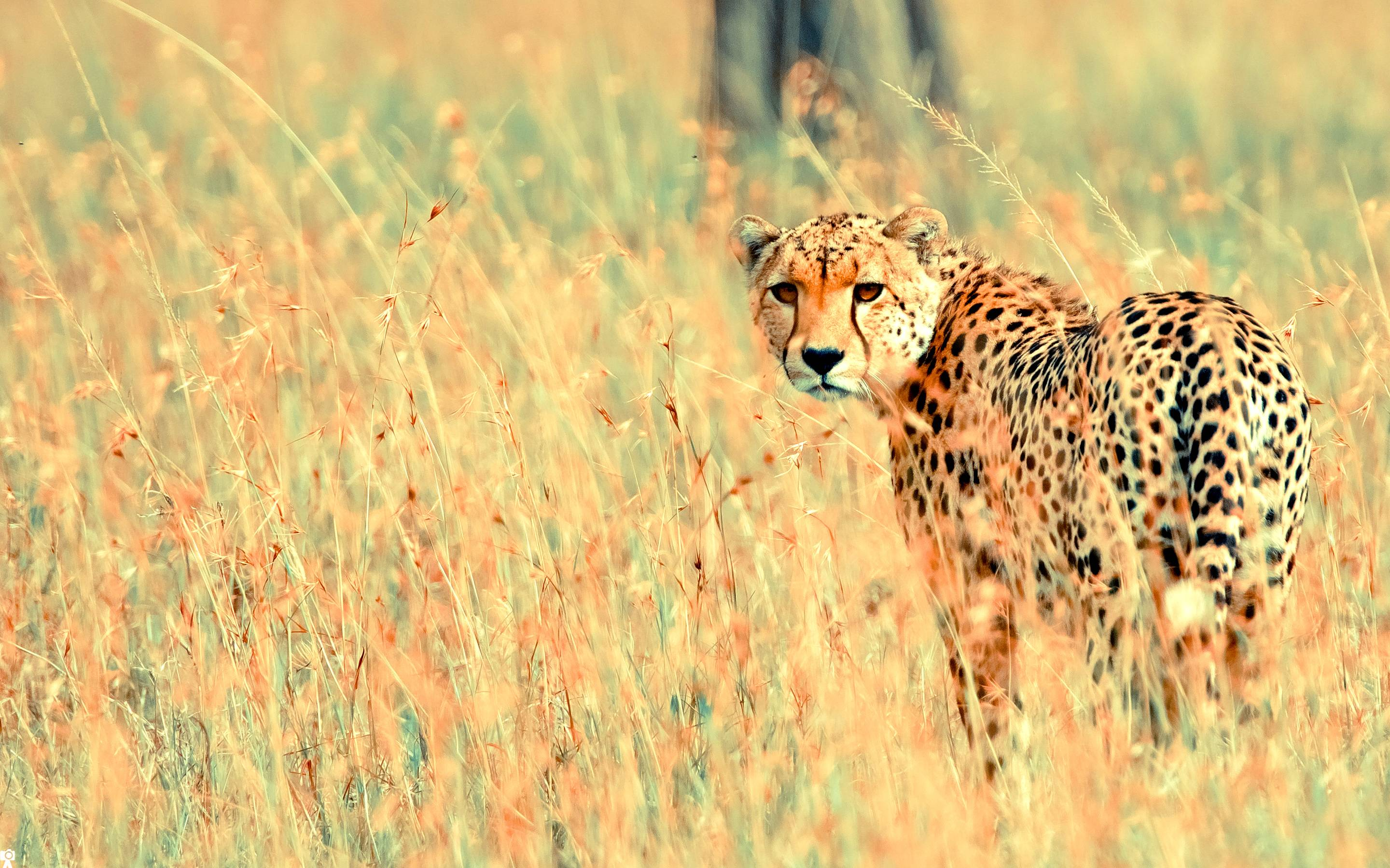 Beautiful Cheetah Wallpapers | HD Wallpapers