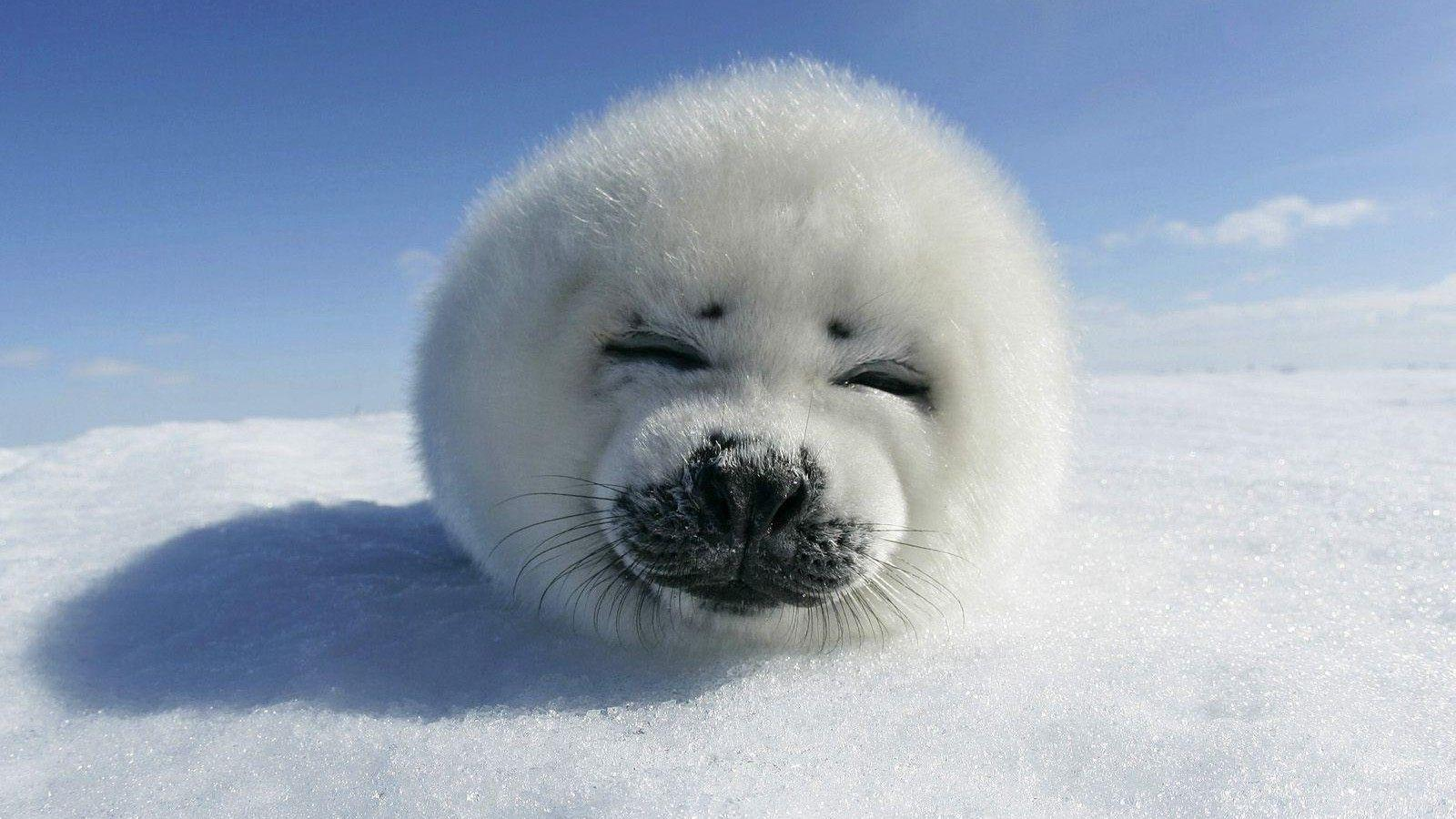 Baby Seal Wallpapers Baby Seal Images and Wallpapers for Mac