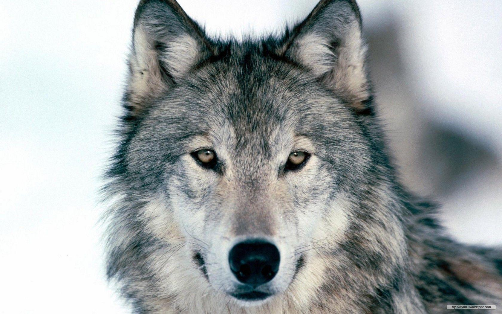 Animal Print Free Wolf Index 367790 Wallpapers wallpapers