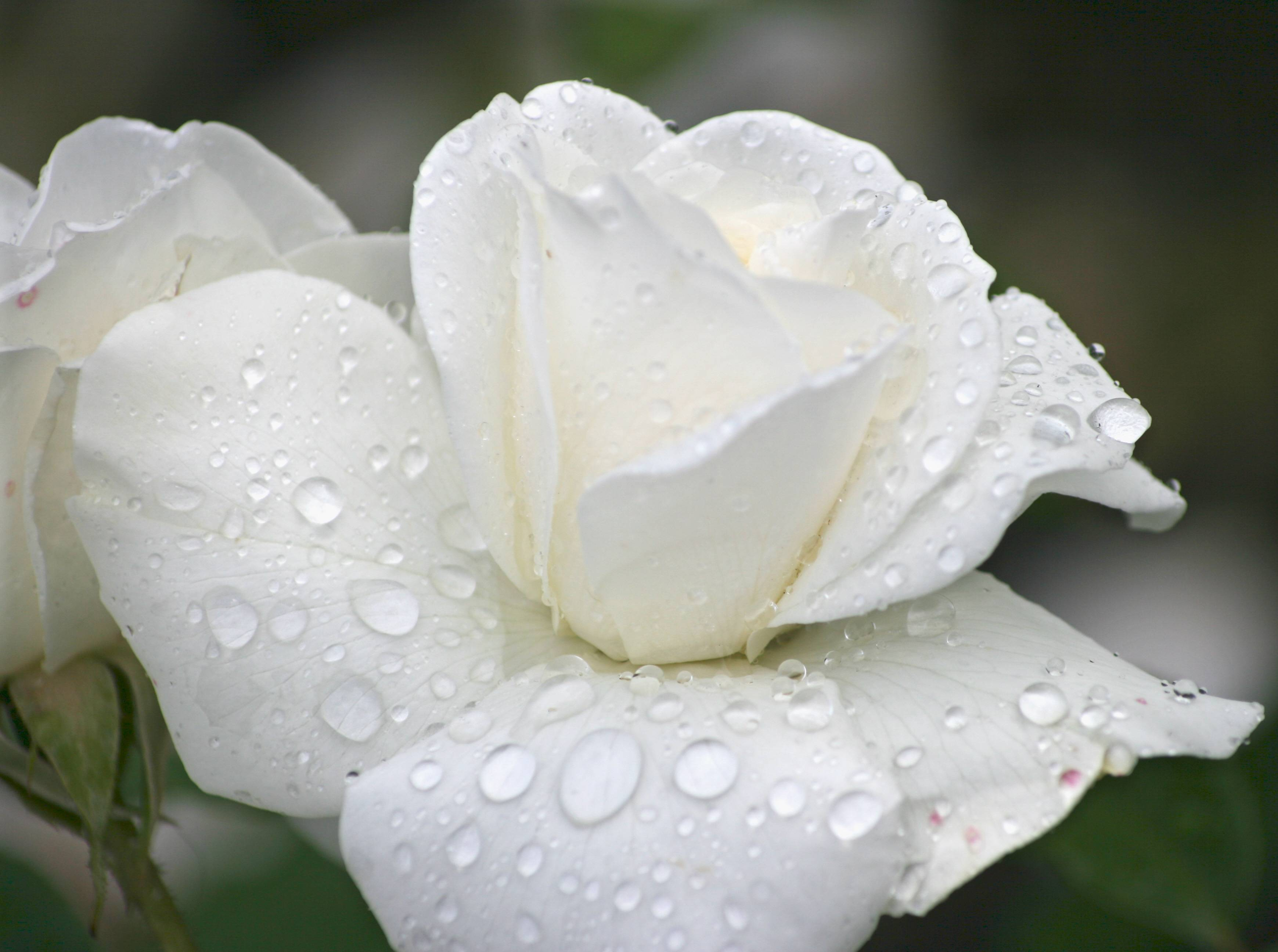 Wallpapers of raindrops wallpaper cave raindrops on rose wallpaper rose wallpaper altavistaventures
