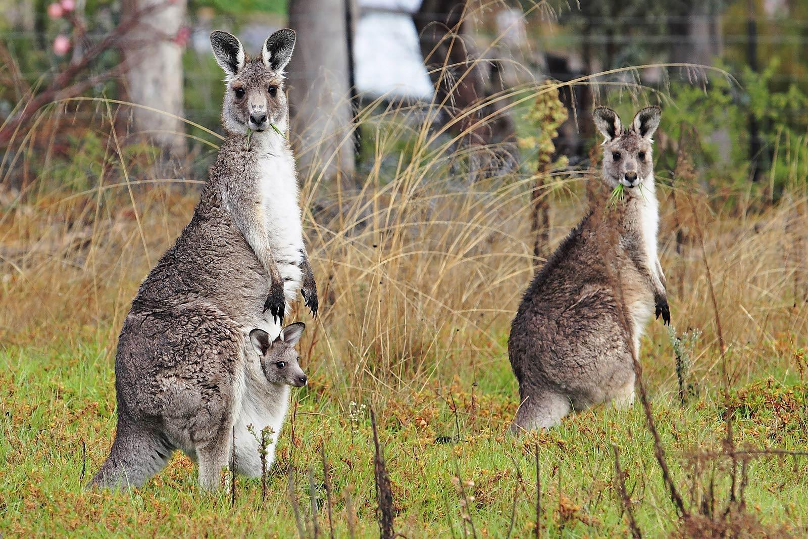 kangaroo wallpaper - Animal Backgrounds