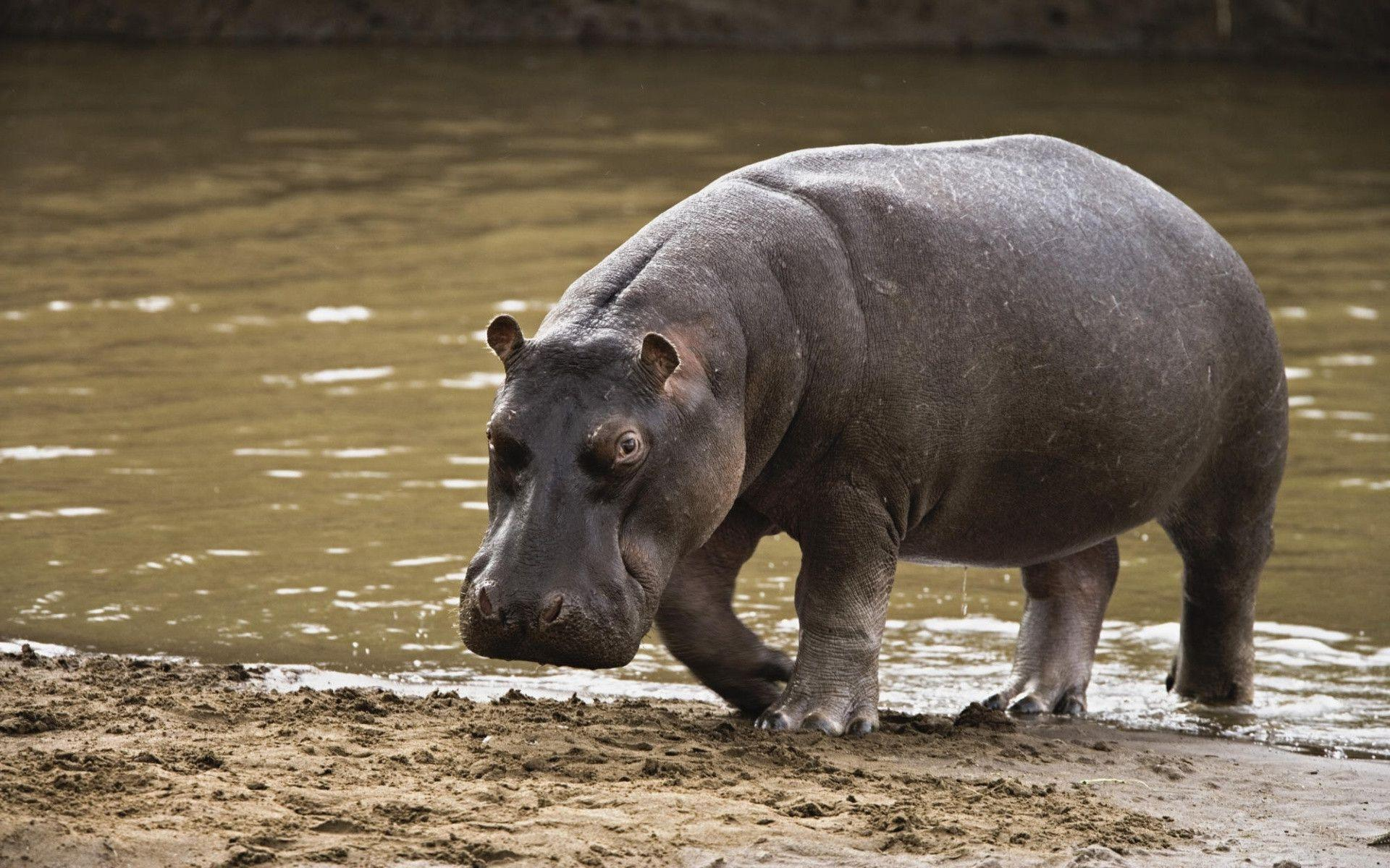Hippopotamus Leaving the Water Free Stock Photo and Wallpaper