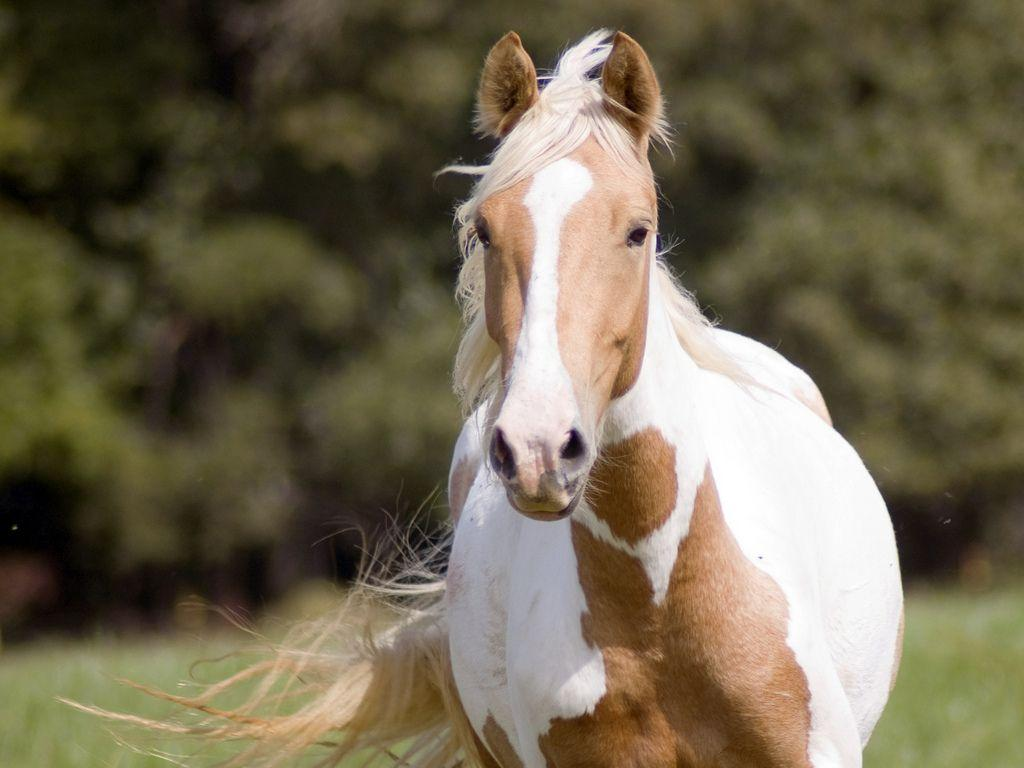 American Paint Horse Wallpapers Wallpaper Cave
