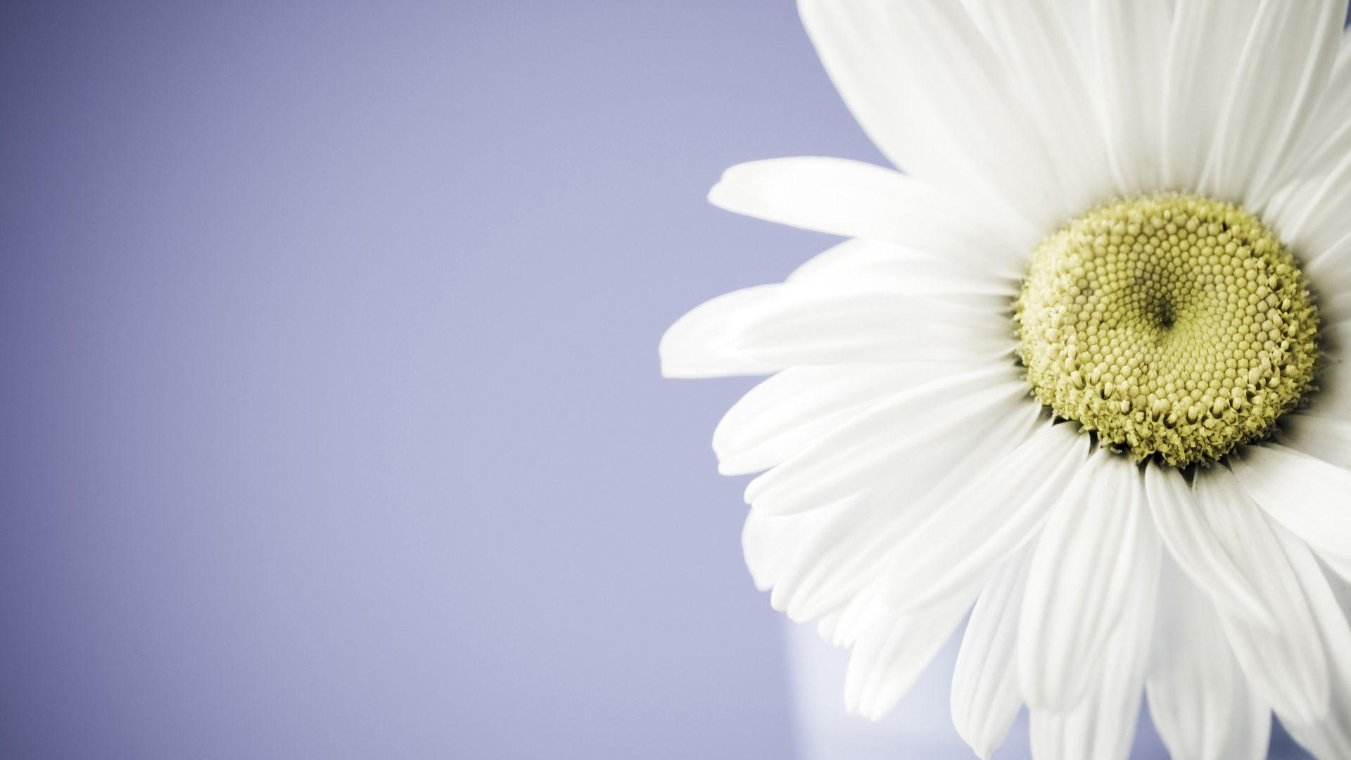 Fantastic Daisy Wallpapers 45884 1920x1080 px ~ HDWallSource