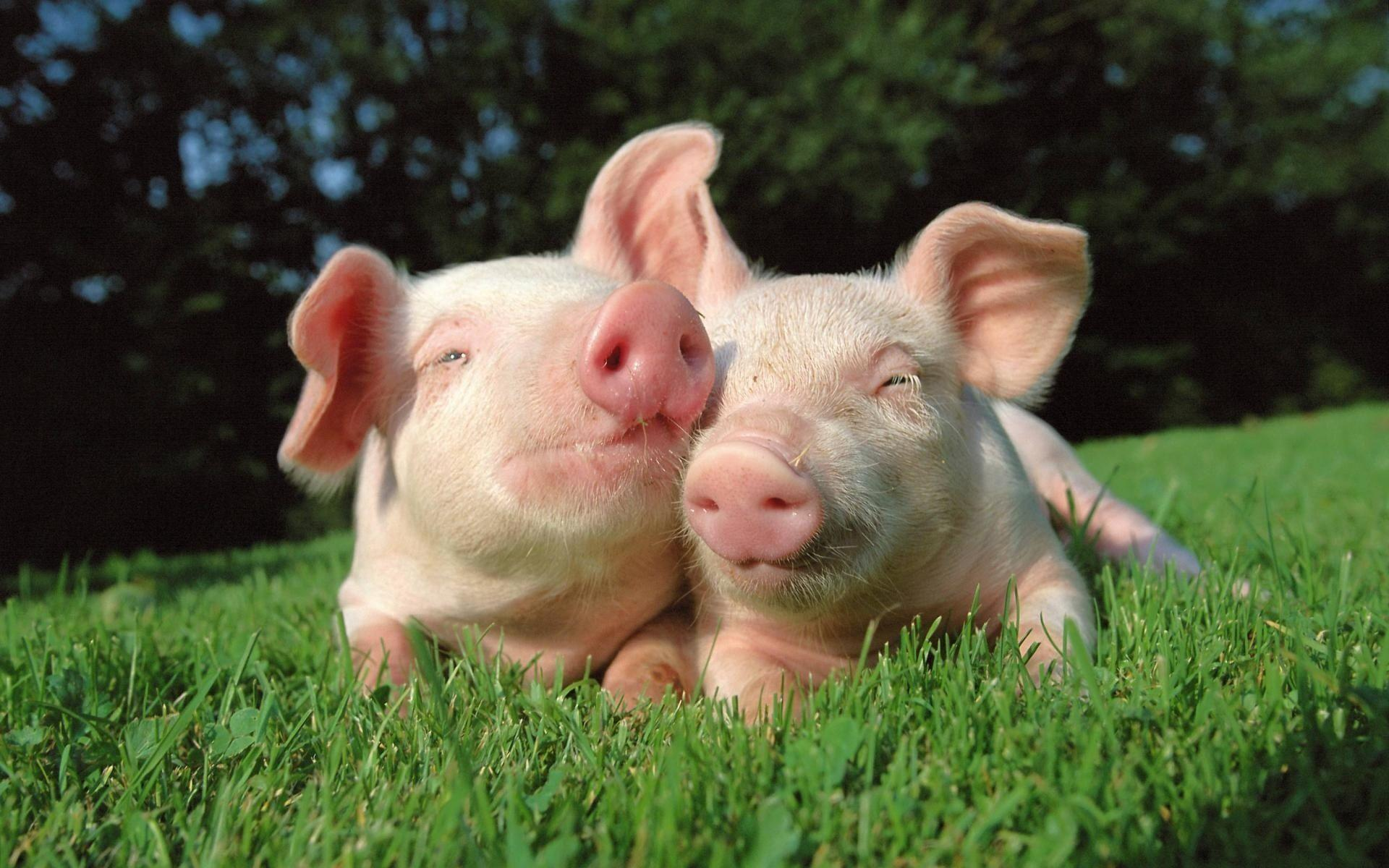 Pig Wallpapers - Full HD wallpaper search - page 2