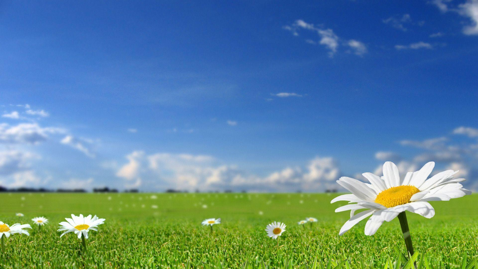 Beautiful white flowers in fields with blue sky backgrounds