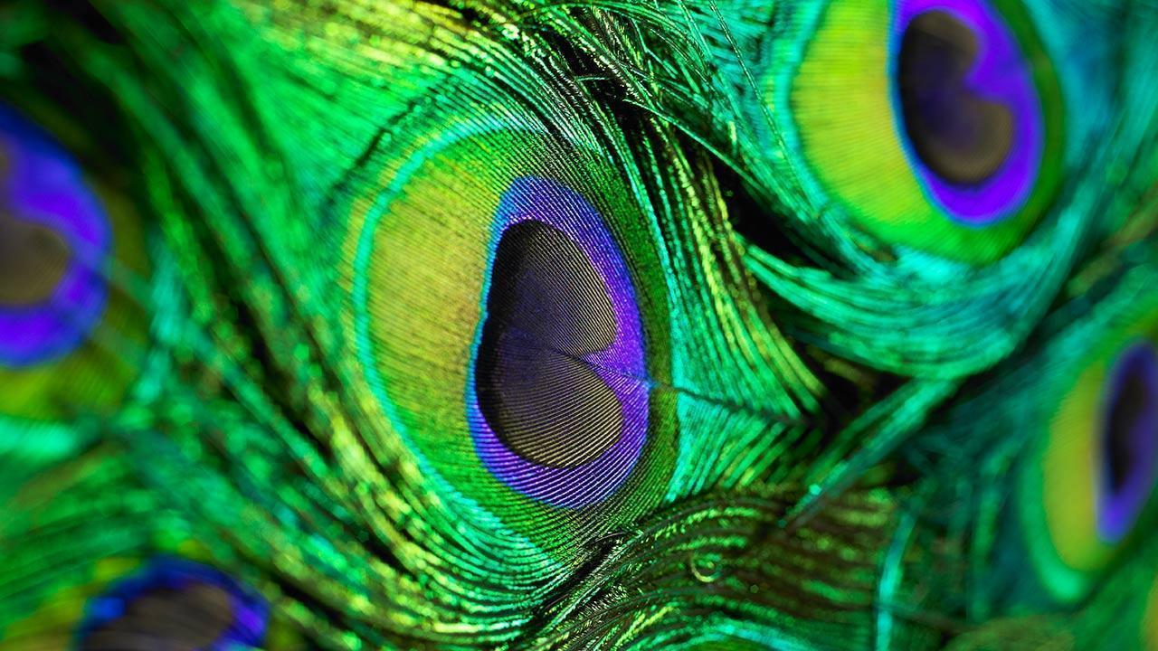 Mor Pankh Hd Wallpaper: Peacock Feather Wallpapers