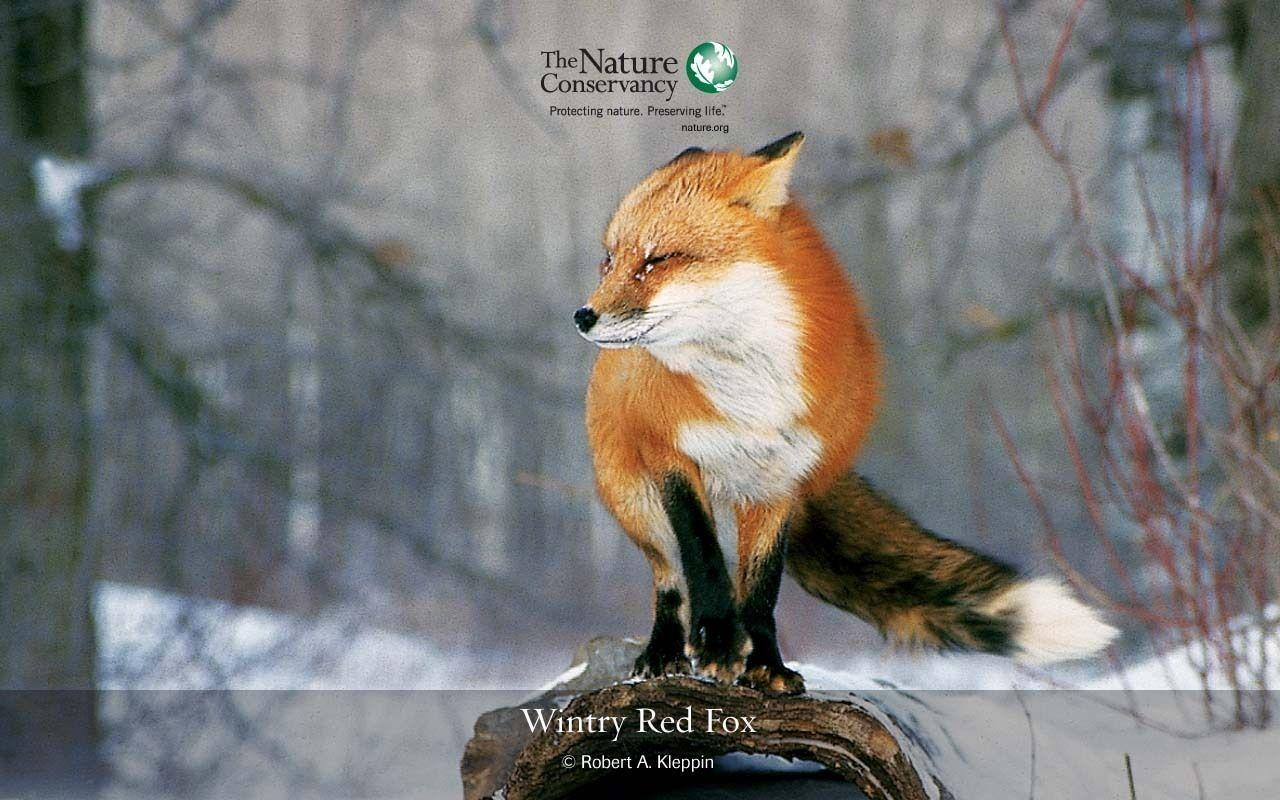Red Fox - Red Foxes Wallpaper (13290310) - Fanpop