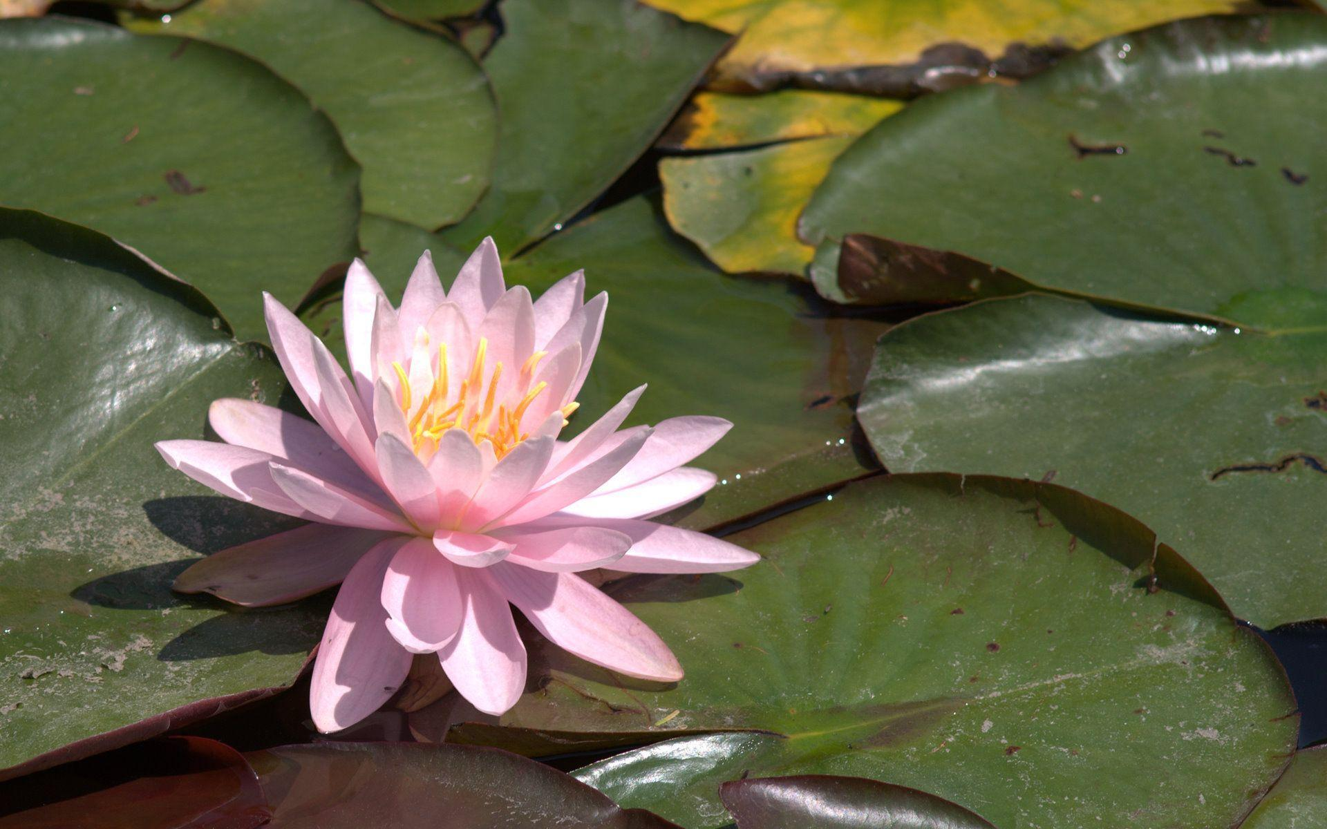Water Lilies Wallpapers