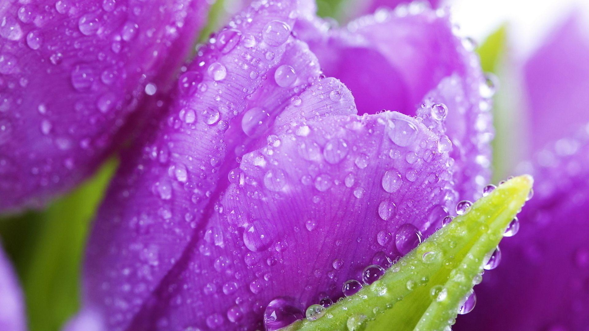 Beautiful Raindrops On Flowers Roses Wallpapers With Design Decorating