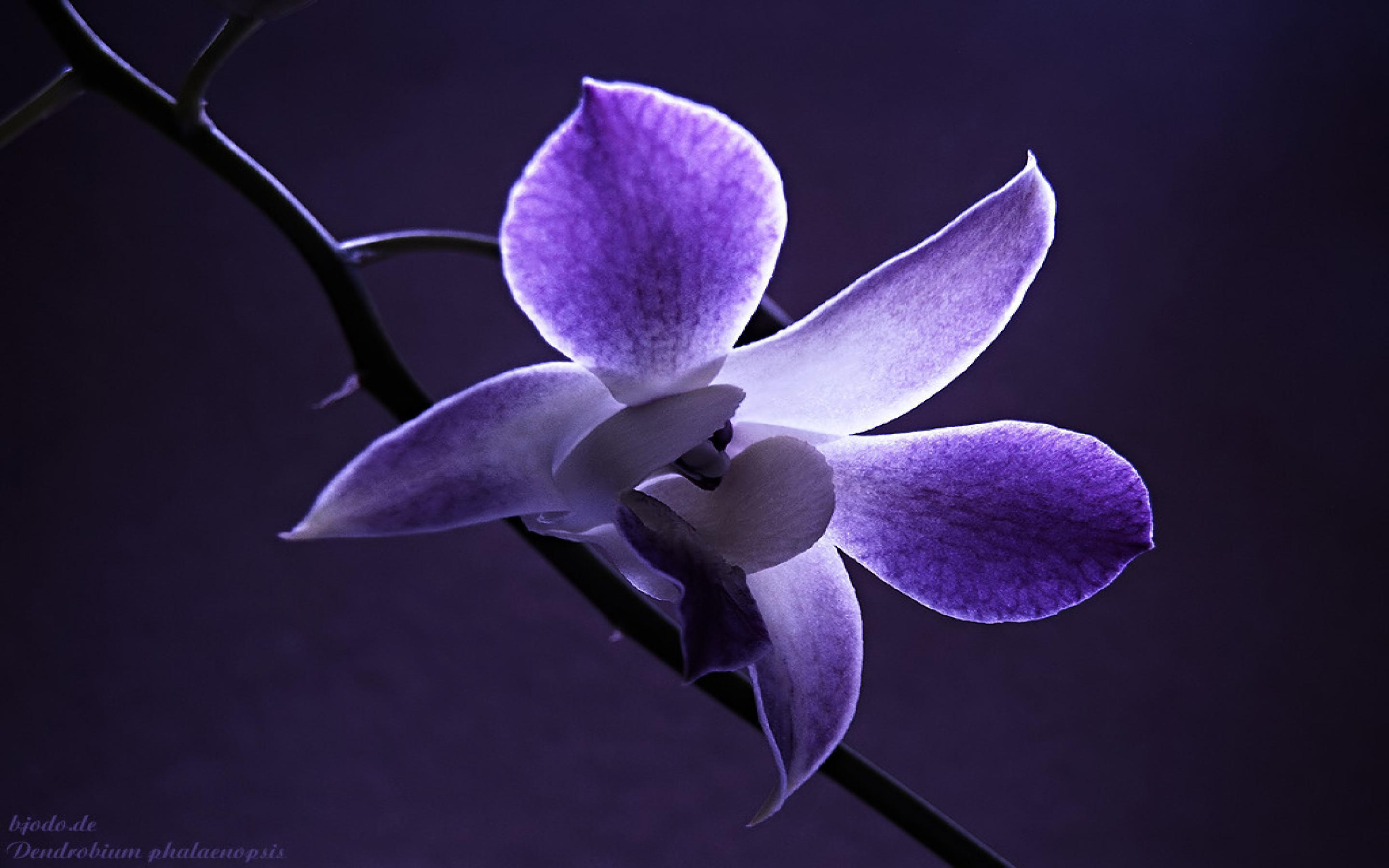 purple orchid wallpapers  wallpaper cave, Natural flower