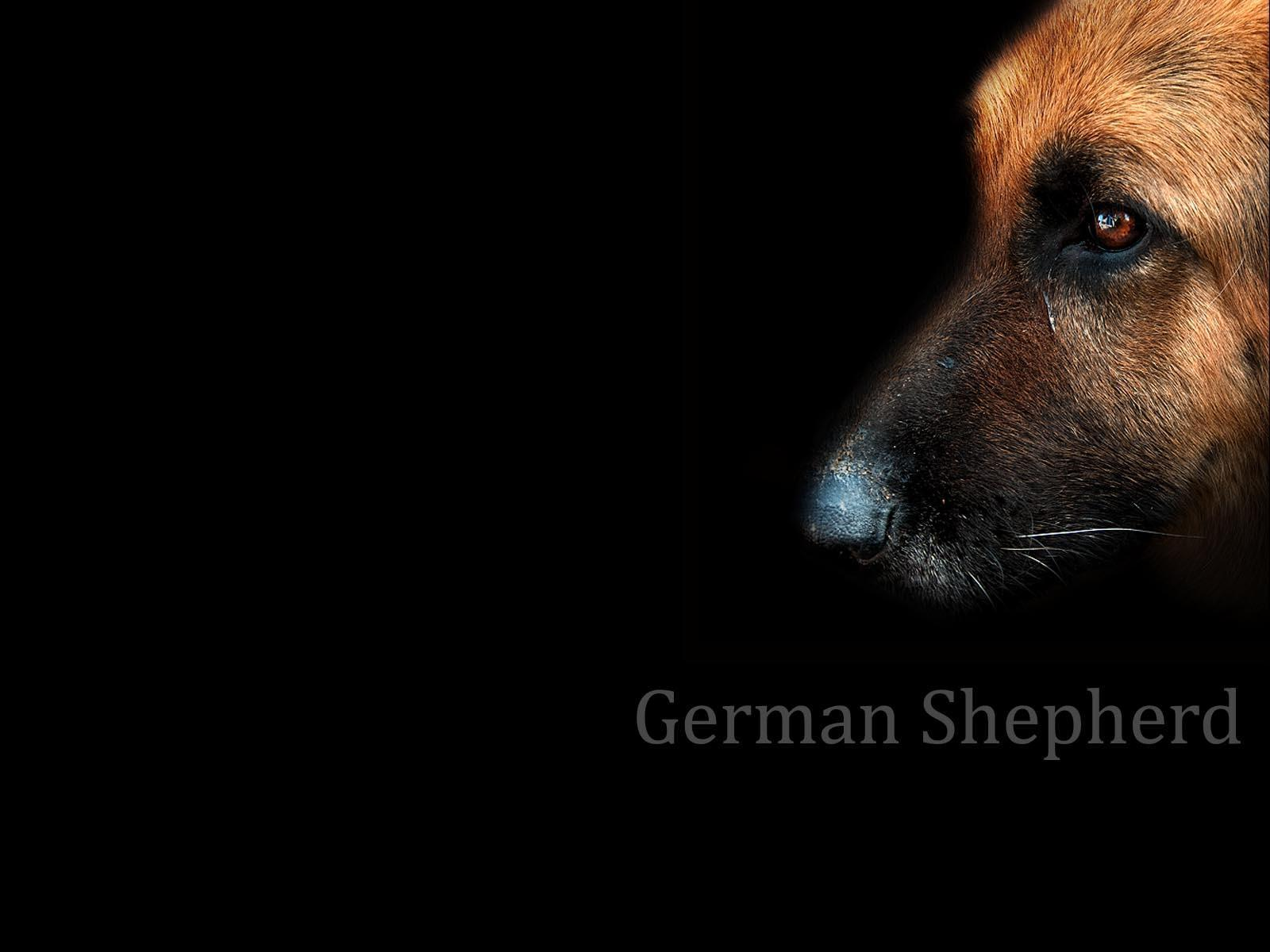 German Shepherd Dog Wallpapers - Wallpaper Cave