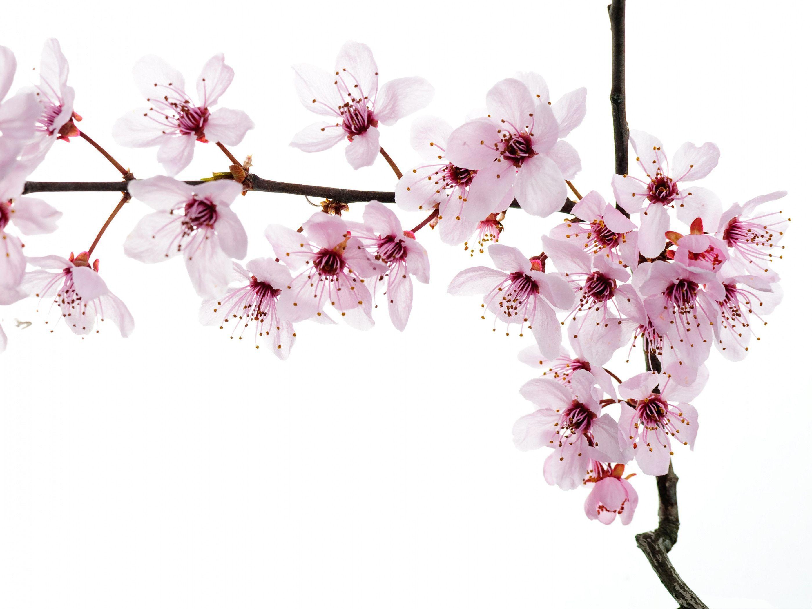 Pink flower white backgrounds wallpaper cave for 3d white flower wallpaper