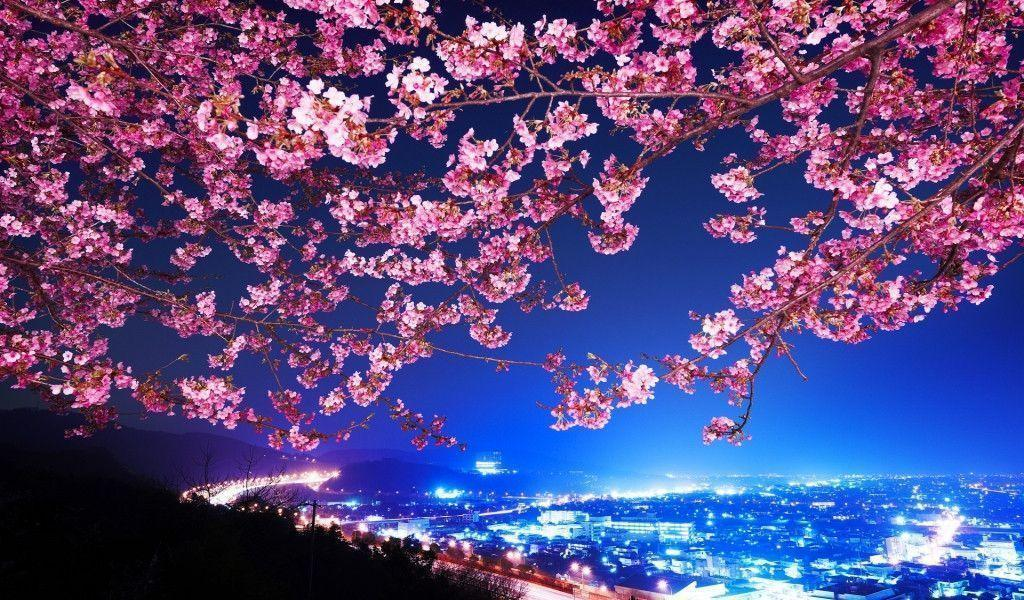 lovely cherry blossom tree hd wallpapers | HD Wallpapers | Desktop ...