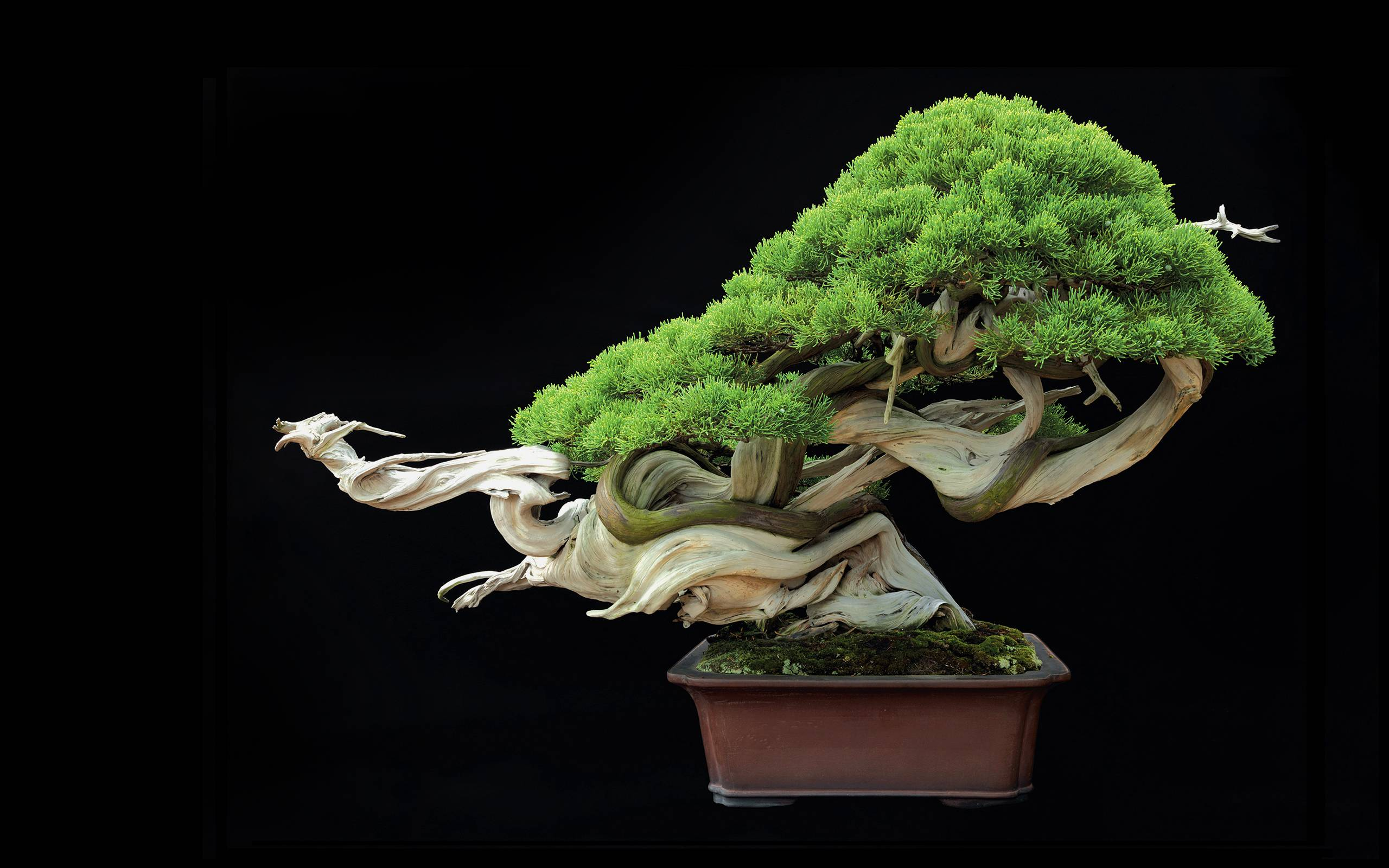 bonsai tree wallpapers wallpaper cave. Black Bedroom Furniture Sets. Home Design Ideas