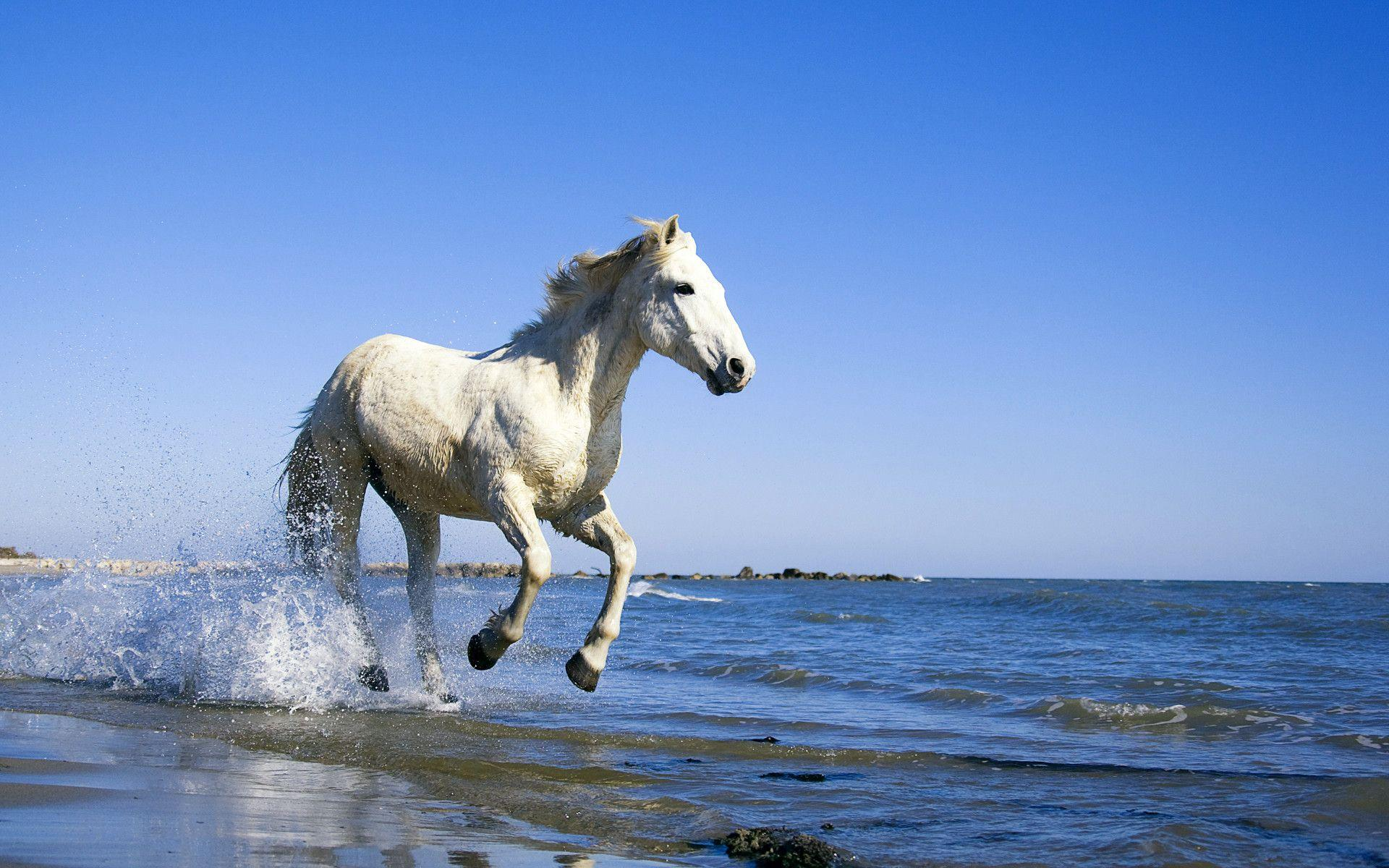 Camargue White Horse Hd Wallpapers « Animals & Birds Wallpapers