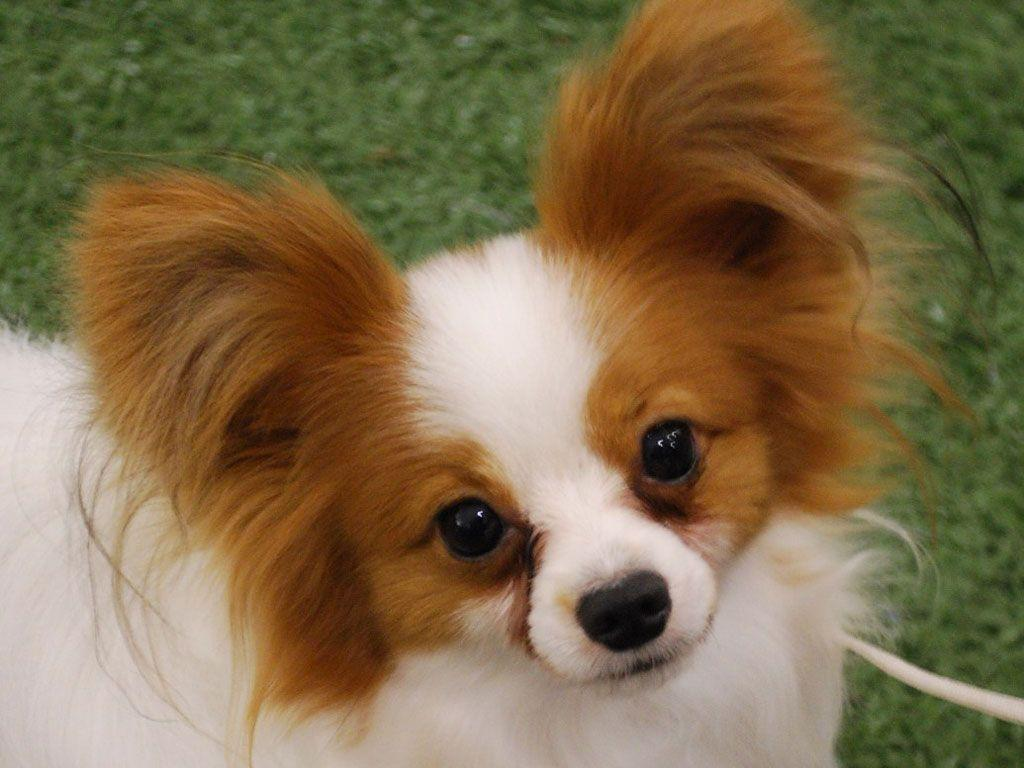 papillion puppies papillon wallpapers wallpaper cave 6302