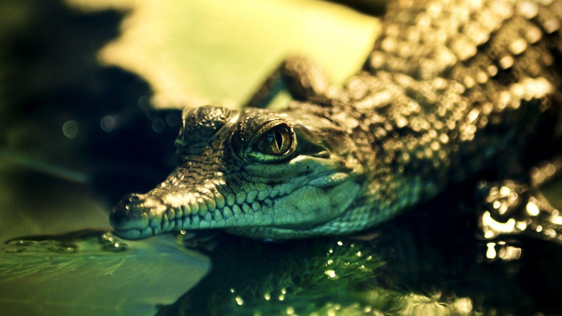 Nice Alligator HD Wallpaper Download Logo And Photo Cookies.