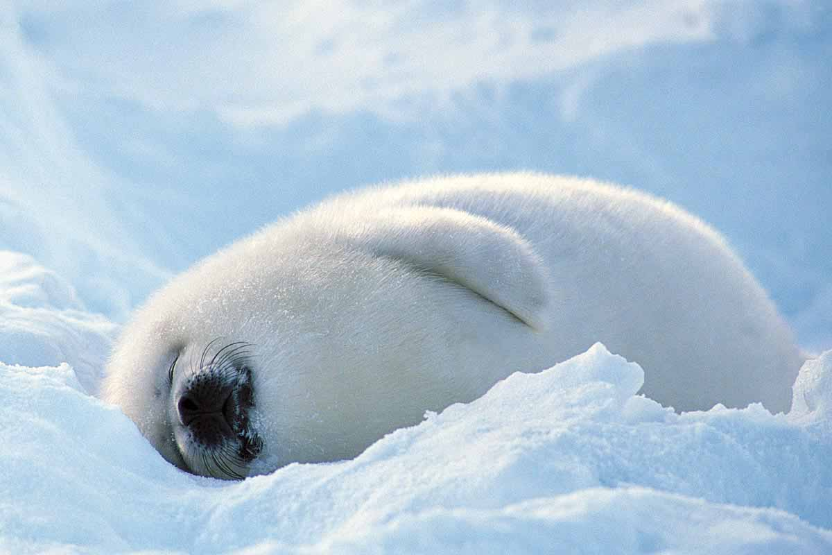Amazoncom Baby Seal Wallpaper  HD Wallpapers of Baby