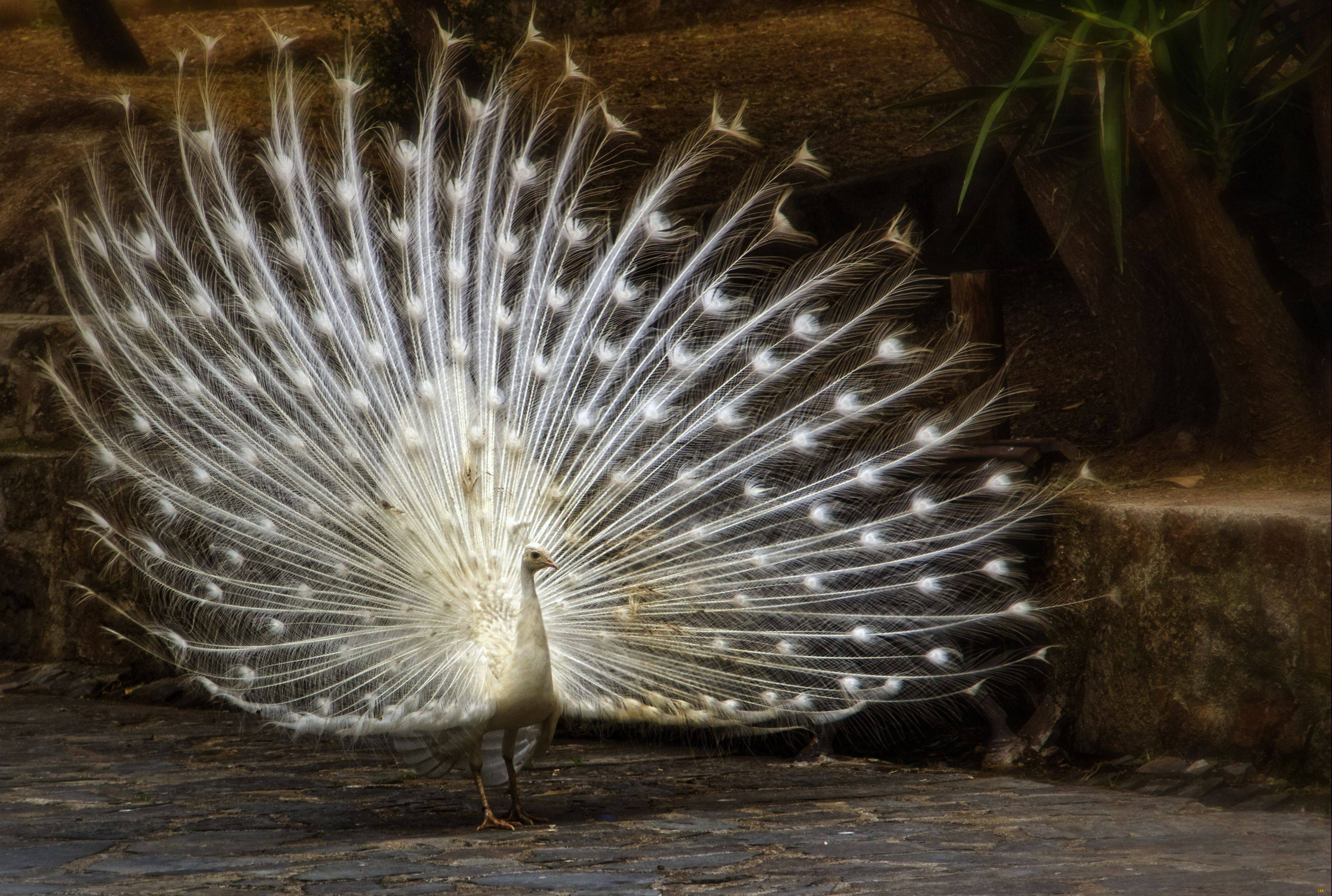 Wallpapers For > White Peacock Wallpapers