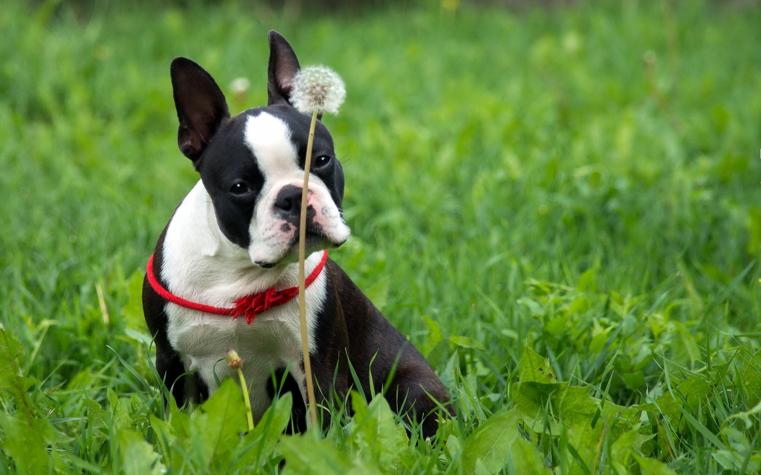 2 Boston Terrier Wallpapers