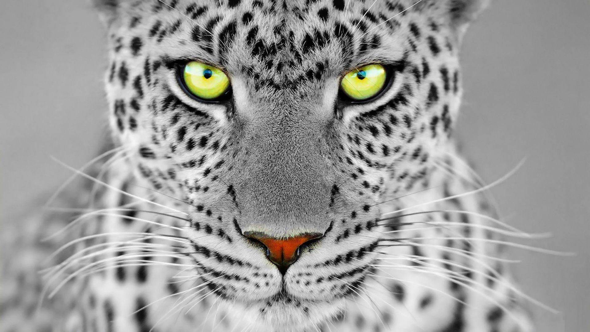 <b>White Panther Wallpaper</b>