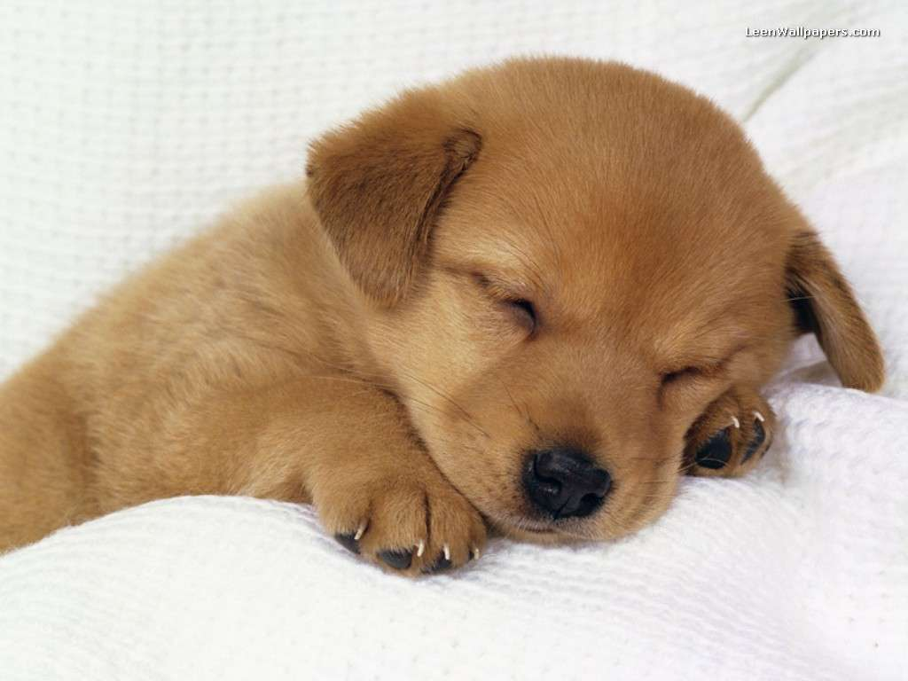 Wallpapers For > Puppy Wallpaper Desktop Free Download