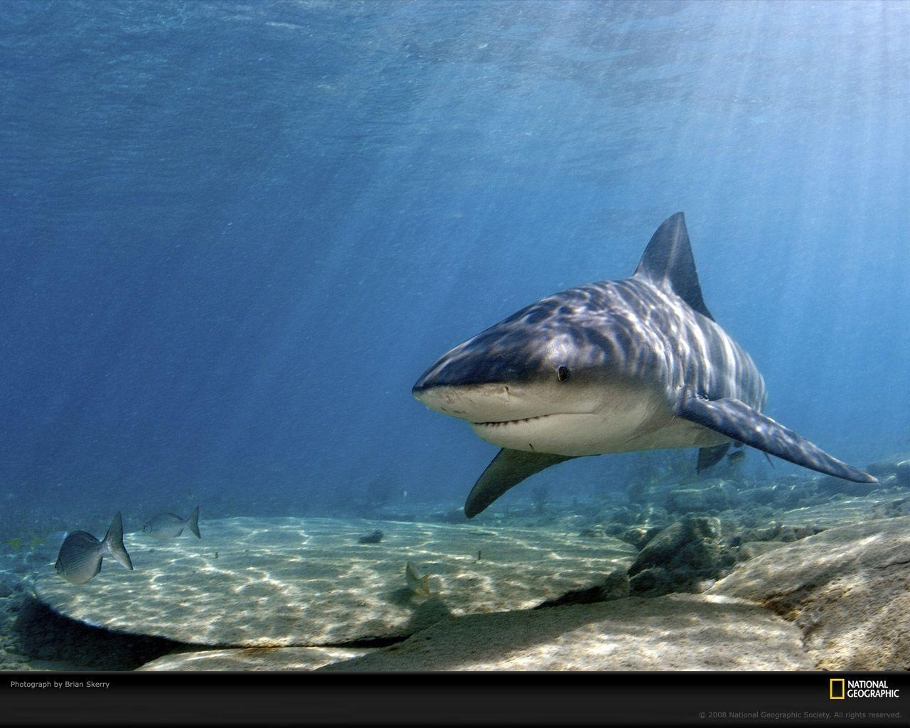 Bull Shark Picture, Bull Shark Desktop Wallpaper, Free Wallpapers ...