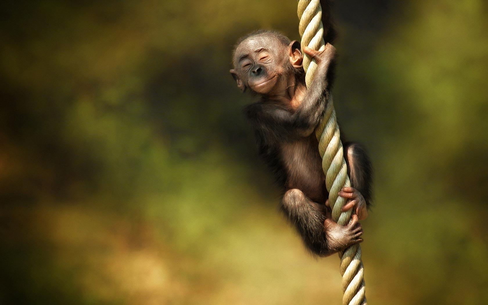 Monkey Wallpapers HD