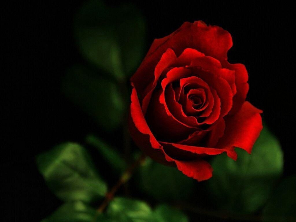 Red Roses Wallpapers For Desktop Wallpaper Cave