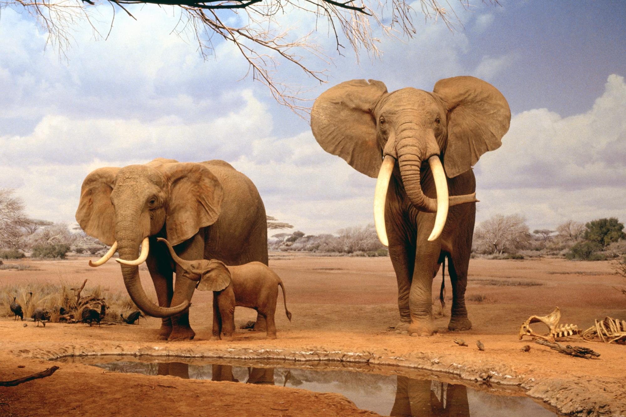 Download Africa Elephants Summer Animals Desktop Wallpaper | Full ...