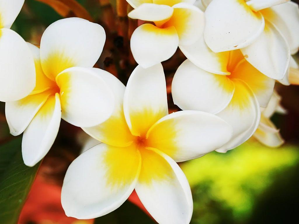Hawaiian Flower Wallpapers - Wallpaper Cave