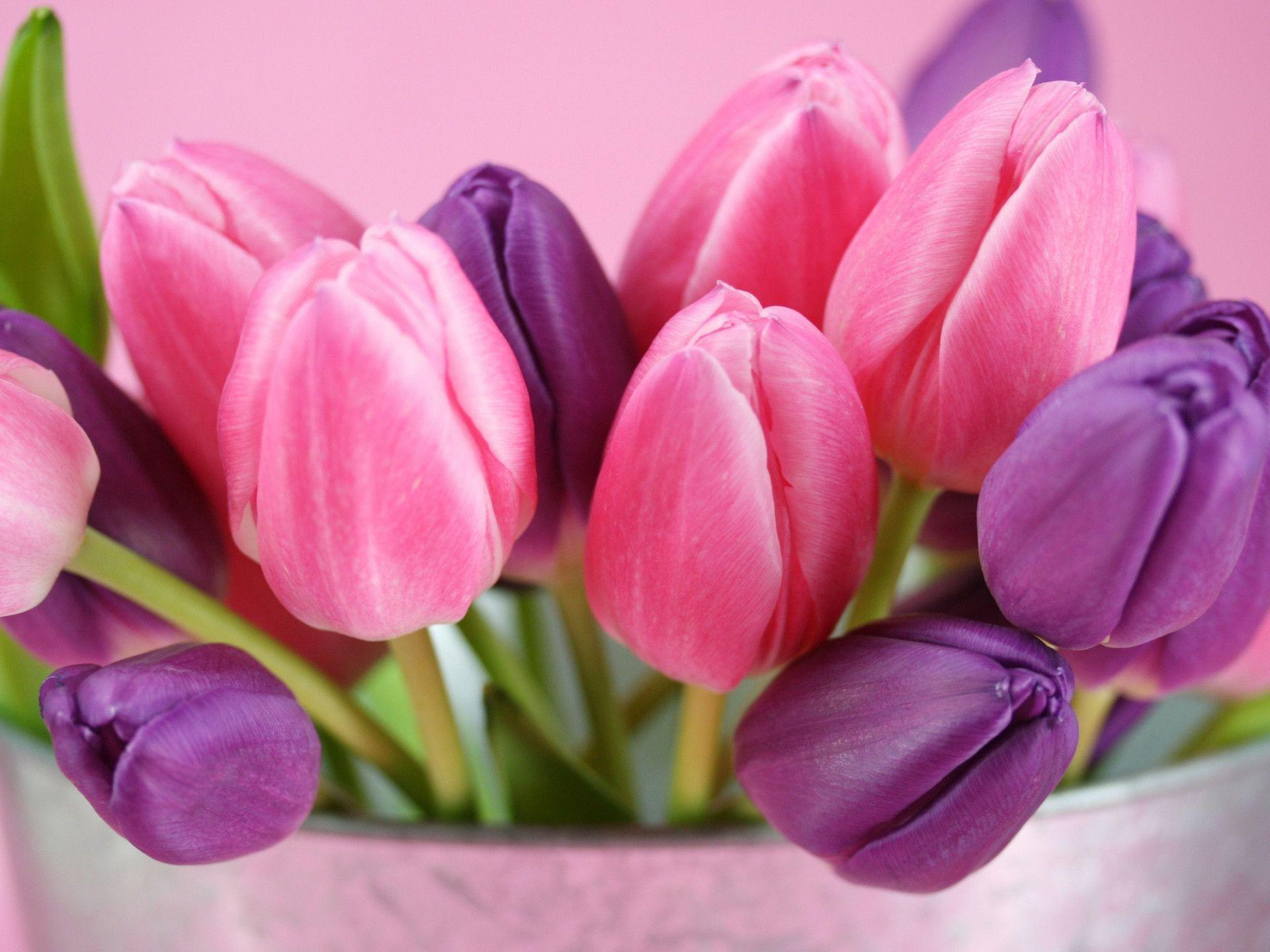 pink tulips hd pictures and wallpapers tanukinosippo