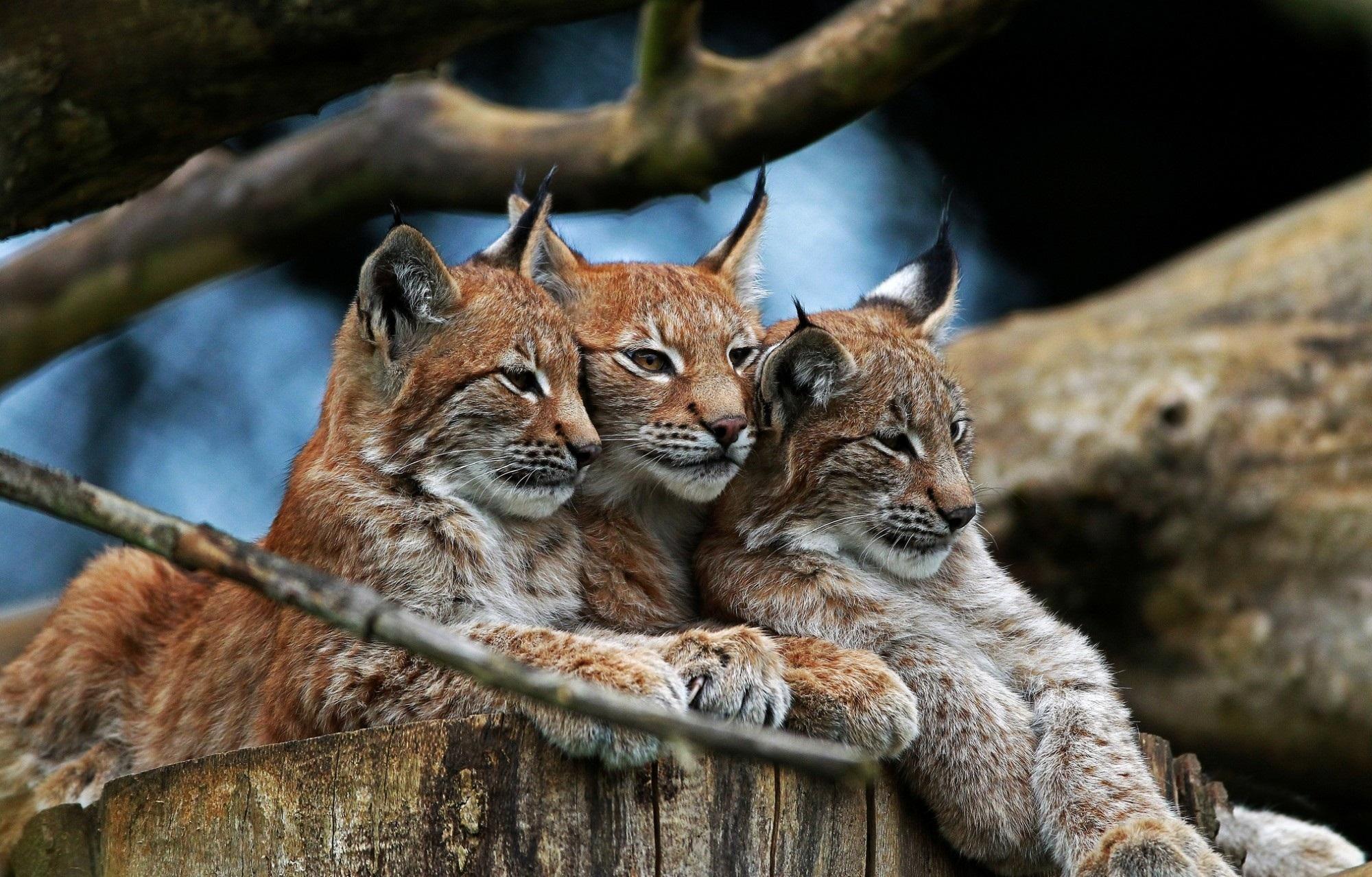 Bobcat North American mammal of cat family Felidae, Lynx ... |Lynx Cat Family